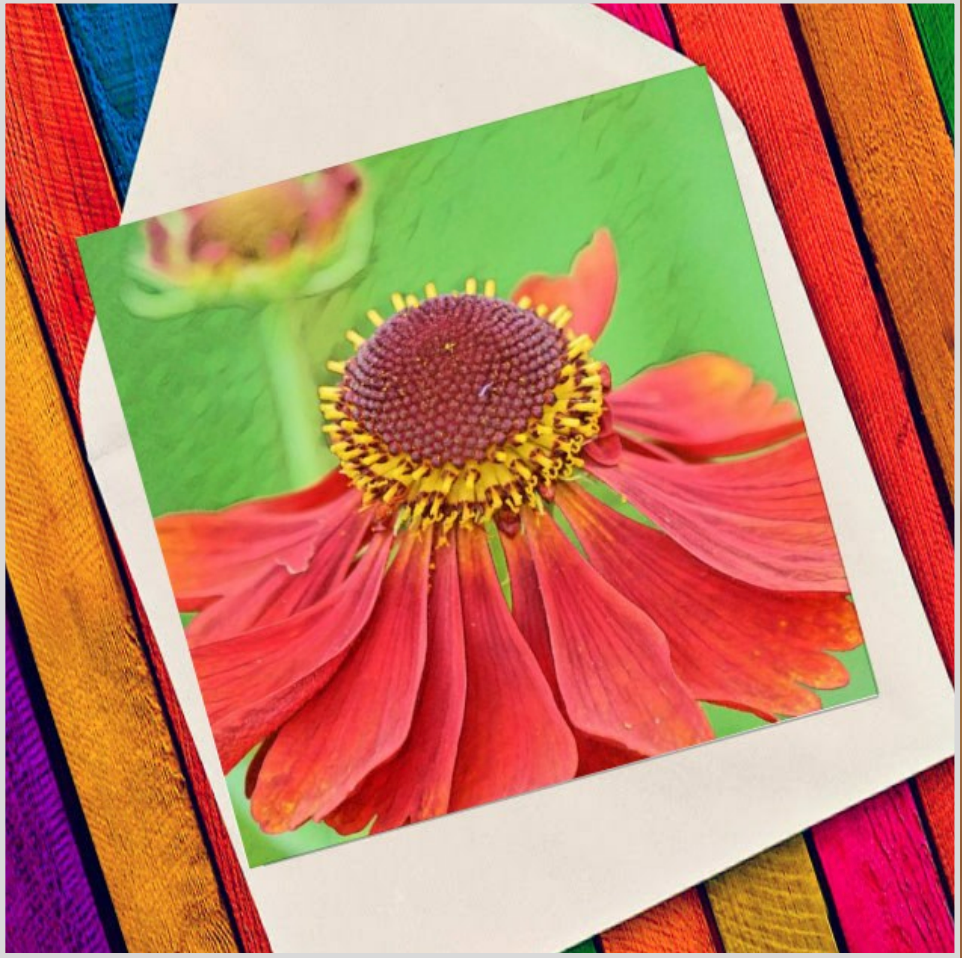 Echinacea flower - Eco Friendly Card