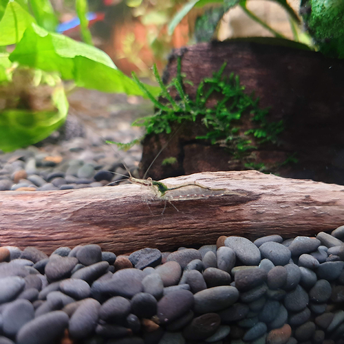 Australian Algae Eating Shrimp