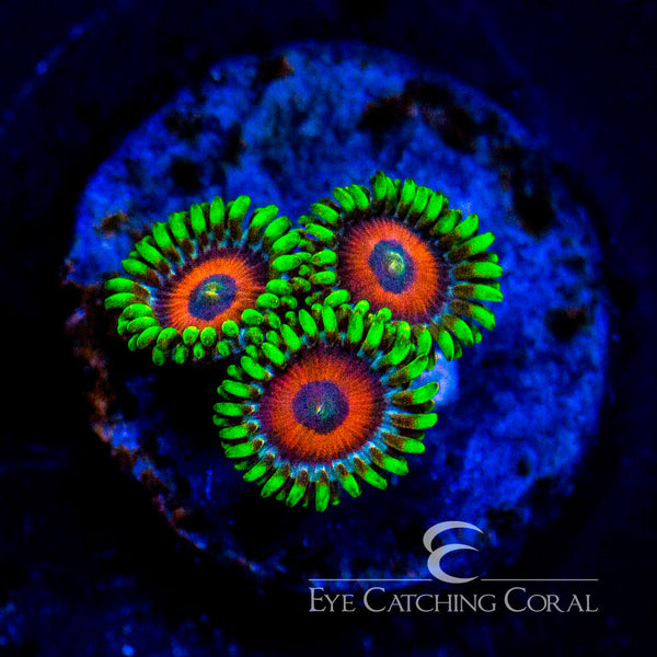 Eagle Eye Zoanthid Frag (Soft) Zoanthid sp.