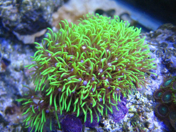 Green Star Polyp Frag (GSP) Pachyclavularia sp.