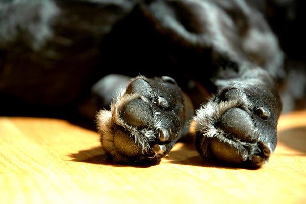 black dog paws