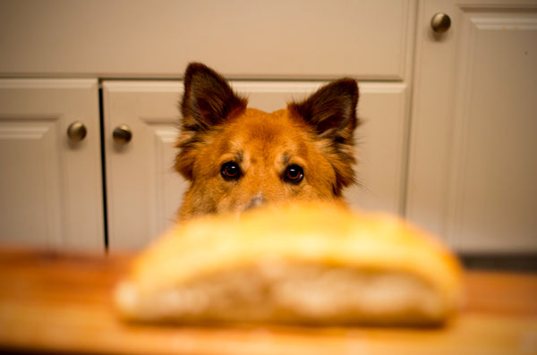 dog staring at a loaf of bread