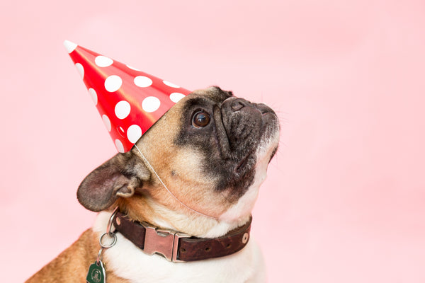 French bulldog wearing a red birthday party hat