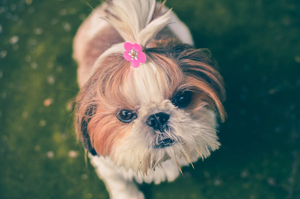 shih tzu with a hair tie