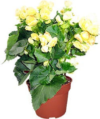 Begonia yellow flower