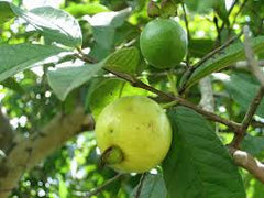 Guava fruit plant 1