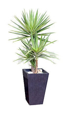Silver Yucca Outdoor plant 1