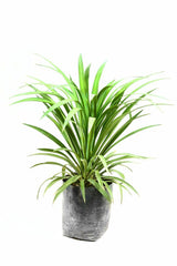 Yucca Glauca Outdoor Plant 1
