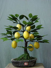 Lemon Bonsai