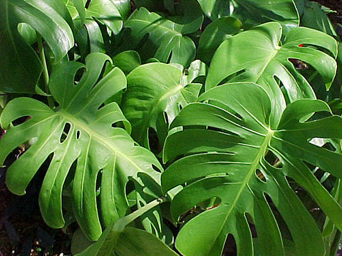 Monstera Deliciosa( Swiss cheese plant)