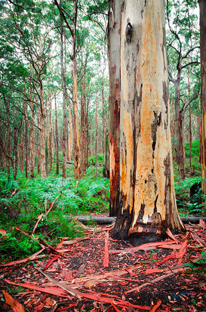 Boranup Forest Karri Tree