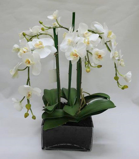 L/S PHAL IN GLASS