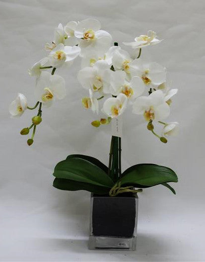 S/S PHAL IN GLASS