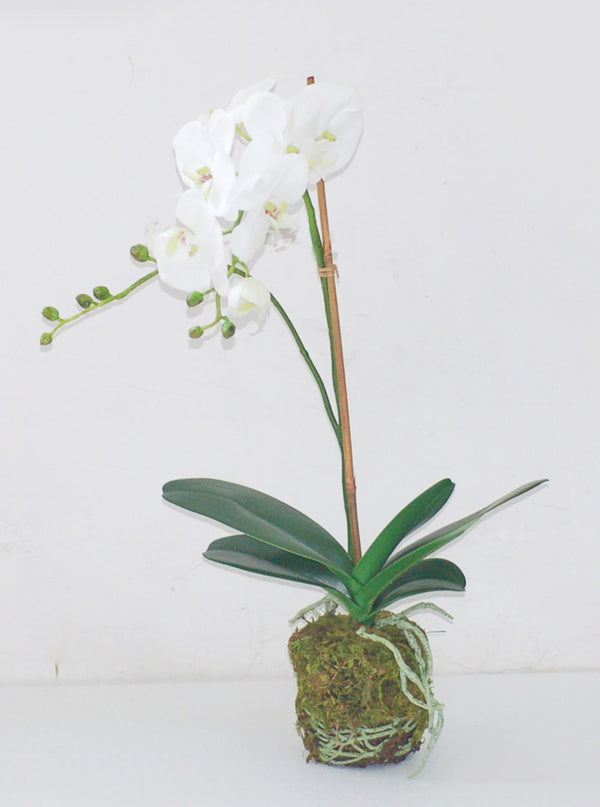 "23"" WHITE PHALAENOPSIS IN SOIL"