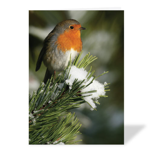 Robin Christmas Card