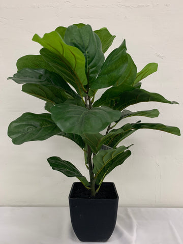 Fiddle leaf potted plant