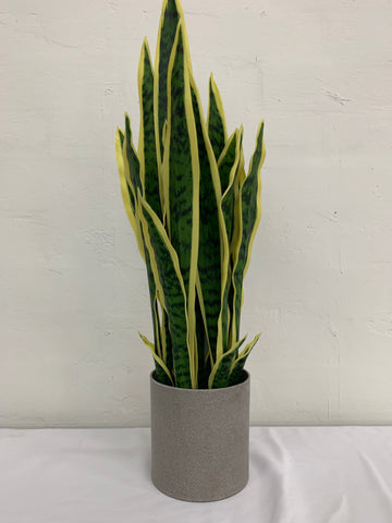 Sansevieria potted