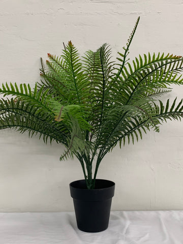Fern Bush potted plant