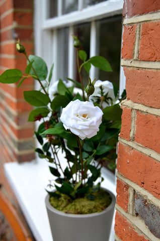 The Harwood Rose - White