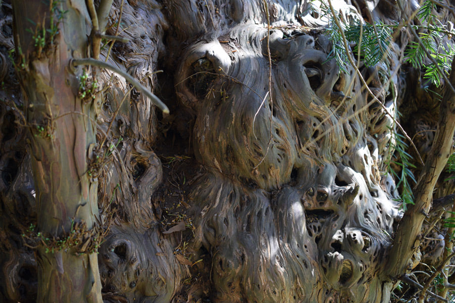 Yew tree faces in the wood