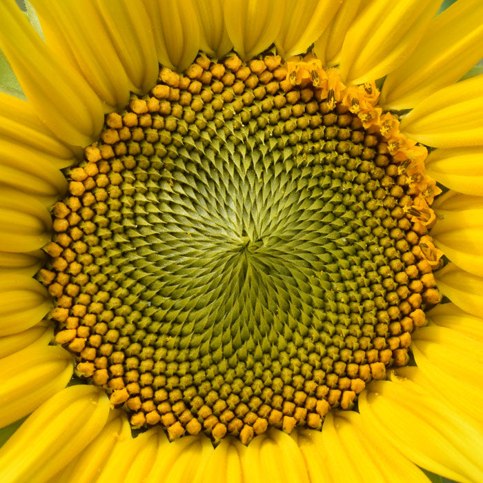 sunflower-spiral
