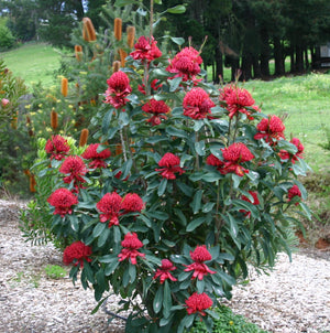 'SHADY LADY' RED WARATAH