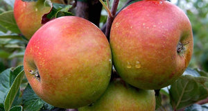 PRE ORDER - APPLE DWARF COXS ORANGE PIPPIN - BARE ROOTED