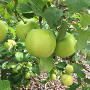 PRE ORDER - APPLE DWARF GRANNY SMITH - BARE ROOTED