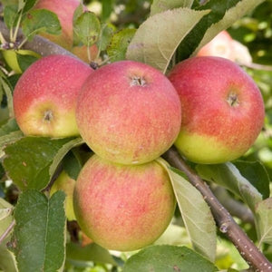 PRE ORDER - APPLE JONAGOLD - BARE ROOTED