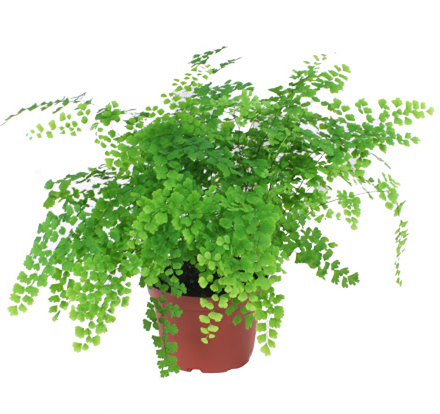 FERN MAIDENHAIR 130MM