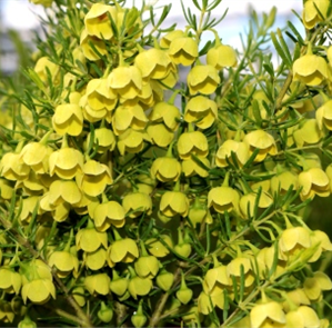 YELLOW BORONIA
