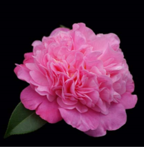 CAMELLIA - ITS GORGEOUS 180MM