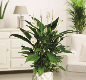 SPATHIPHYLLUM 130MM POT
