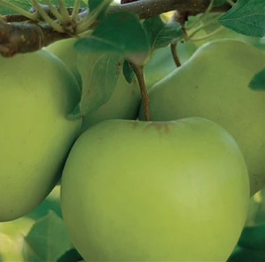 PRE ORDER - APPLE DWARF GOLDEN DELICIOUS - BARE ROOTED
