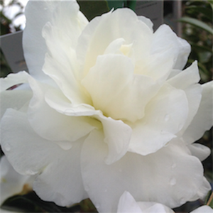 CAMELLIA AVALANCHE 2LT