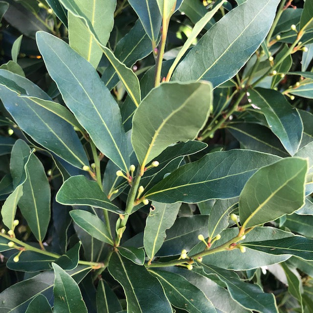 BAY TREE - LAURUS BABY BAY