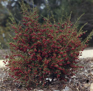 BROWN BORONIA - HEAVEN SCENT