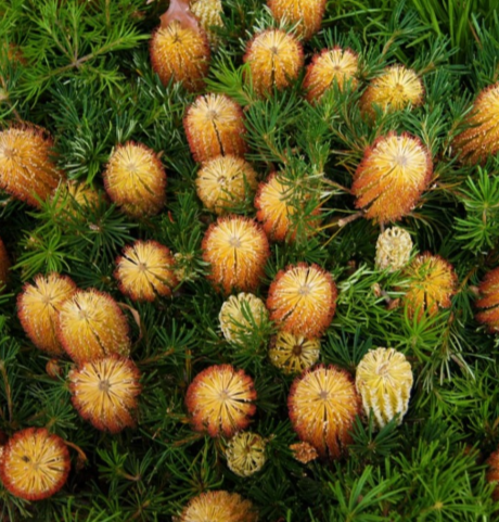 BANKSIA BIRTHDAY CANDLES