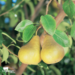 PRE ORDER - PEAR BEURRE BOSC - BARE ROOTED