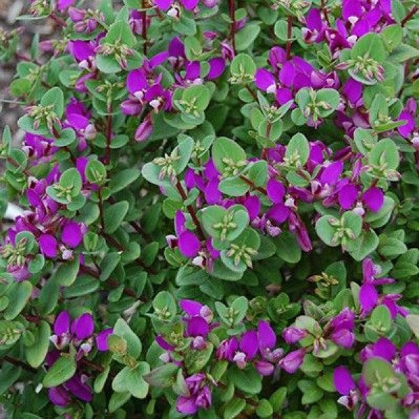 POLYGALA DWARF LITTLE BIBI 140MM
