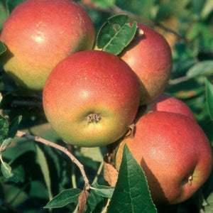 PRE ORDER - APPLE COXS ORANGE PIPPIN - BARE ROOTED