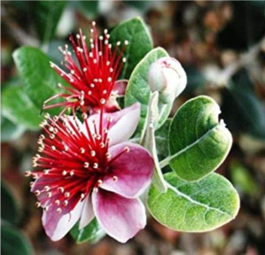 FEIJOA SELLOWIANA 170MM