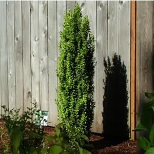 BUXUS EMERALD GREEN GRAHAM BLANDY