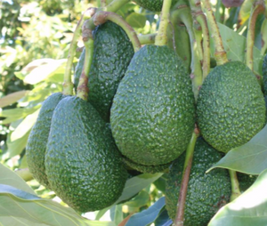 AVOCADO HASS 250MM