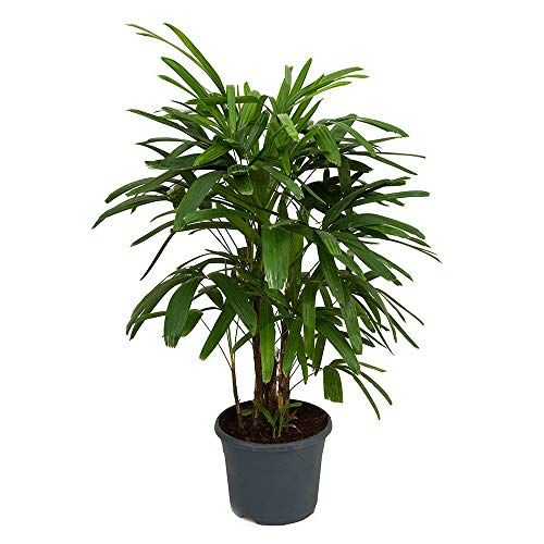 LADY FINGER PALM 250MM