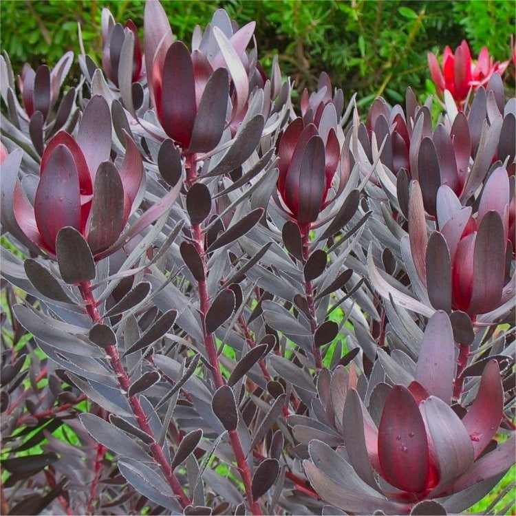 LEUCADENDRON BURGUNDY SUNSET