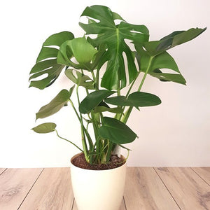 MONSTERA DELICIOSA 130MM