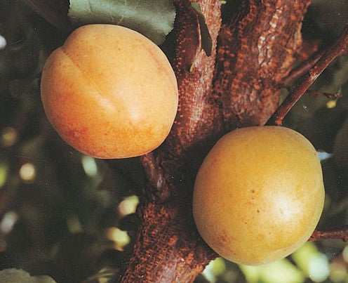 PRE ORDER - APRICOT DWARF MOORPARK - BARE ROOTED