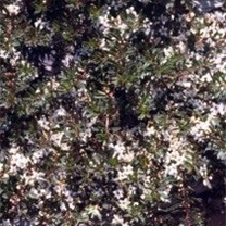 MYOPORUM PURPUREA