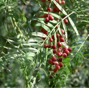 SCHINUS MOLLE PEPPERCORN TREE